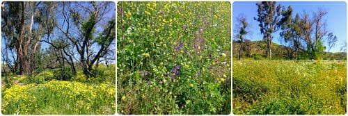 Santiago Oaks Regional Park Wildflowers